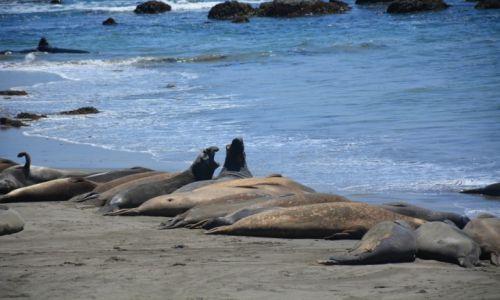 Zdjecie USA / Kalifornia / Wybrzeże przy HW 1 / Słonie morskie