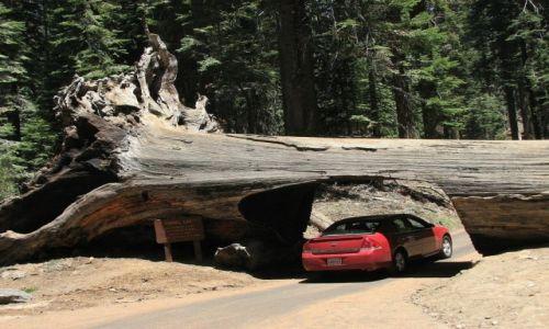 Zdjecie USA / Kalifornia / Sequoia National Park / Sekwojowy tunel