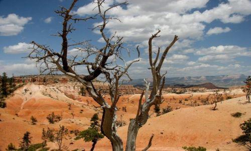 Zdjęcie USA / Utah / Park Narodowy Bryce Canyon / Drzewko