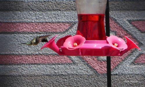 Zdjęcie USA / Utah / Przy skrzyżowaniu dróg / Koliberek przy kwiatowym poidełku