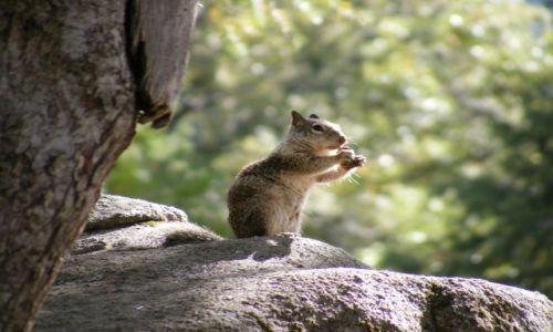 Zdjecie USA / Kalifornia / Yosemite / Wiewiórka