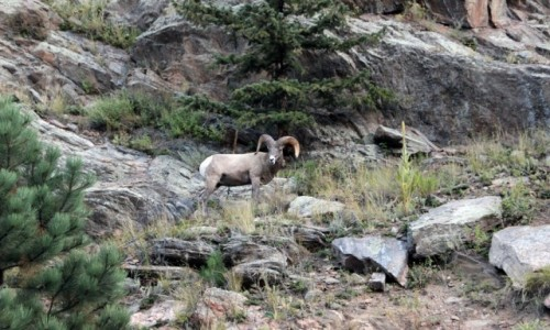 Zdjecie USA / Kolorado / Rocky Mountain NP / Muflon