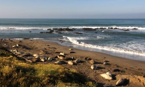 Zdjęcie USA / Kalifornia / San Simeon / Słonie morskie