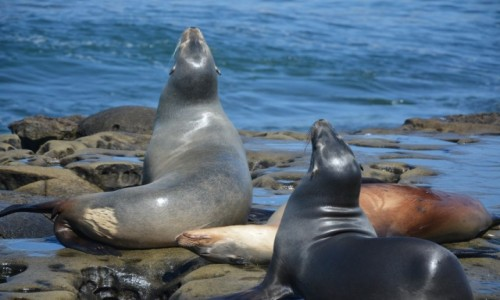 USA / Kalifornia / San Diego / foki w La Jolla