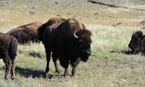 Zdjecie USA / Wyoming / Park Narodowy Yellowstone / bliskie spotkan