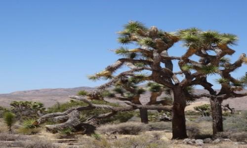 Zdjecie USA / Kalifornia / Joshua Tree NP / Drzewko Jozuego