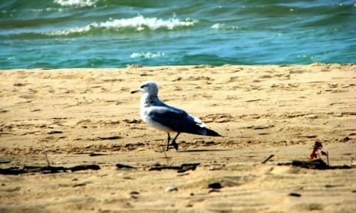 Zdjęcie USA / Indiana / Indiana Dunes National Lakeshore / Mewa na Plazy