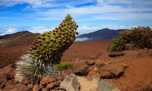 Zdjęcie USA / Maui / Manua Kea / Silversword