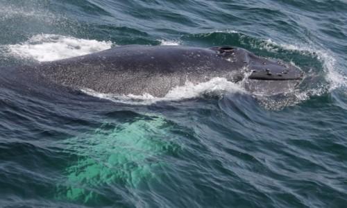 USA / Boston / Stellwagen Bank National Marine Sanctuary / Humbak w całej (prawie) okazałości
