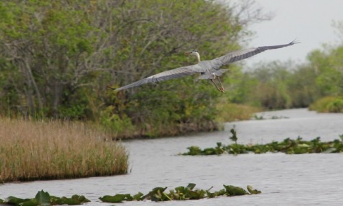 USA / Floryda / Everglades / Spłoszona