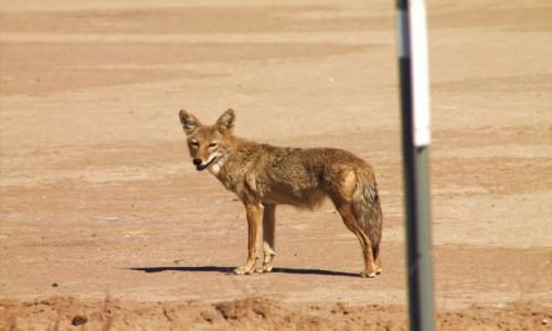 Zdjecie USA / Nevada / Death Valley / Wilk w dolinie śmierci