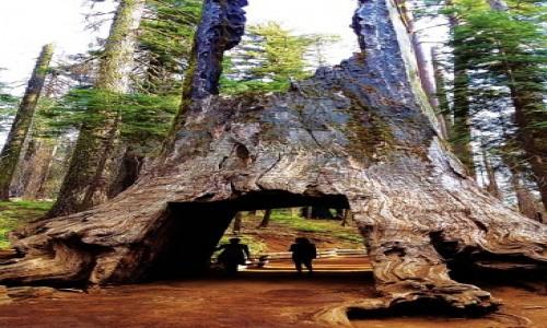 Zdjęcie USA / Yosemite National Park / Tuolumne Grove Trailhead / Martwy olbrzym