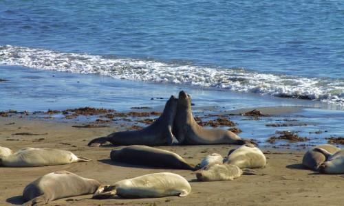 Zdjęcie USA / California / Wybrzeże californijskie / Foki na plaży