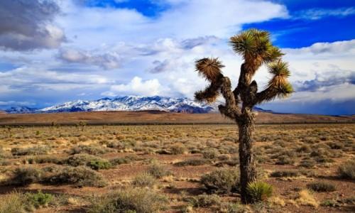 Zdjecie USA / Nevada / gdzis w Nevadzie / Joshua