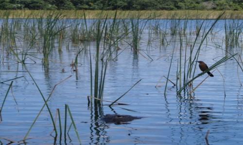 Zdjecie USA / Floryda / Park Everglades (UNESCO) / Aligator (nie mylić z krokodylem) czyhający na inne stworzenie