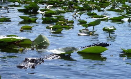Zdjecie USA / Floryda / Park Everglades (UNESCO) / aligator wśród nenufarów