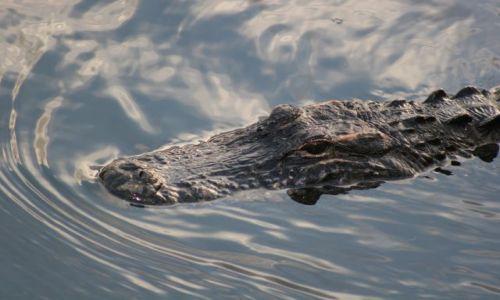 Zdjęcie USA / Floryda / Everglades National Park / aligator