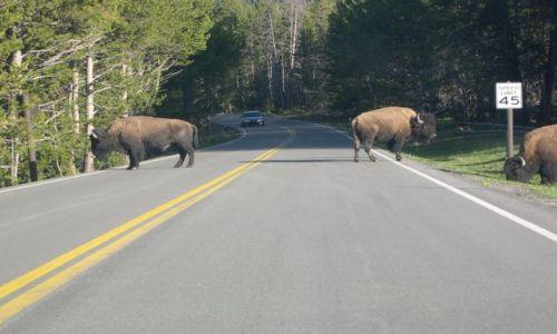 USA / Wyoming / Yellowstone / bizonia blokada