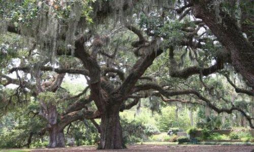 Zdjecie USA / Południowa Karolina / Brookgreen Garden / drzewo