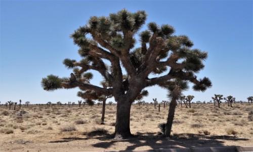 USA / Kalifornia / Joshua Tree NP / Drzewko z historią...