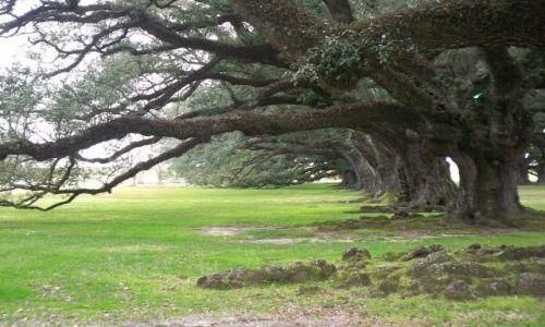 Zdjęcie USA / brak / Luizjana / deby w Oak Alley Plantation