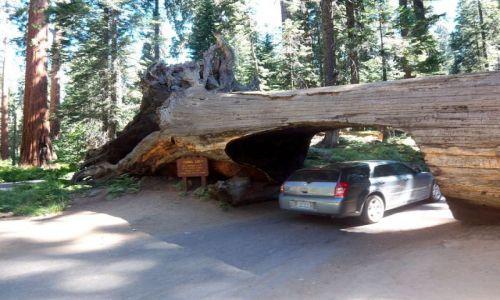 Zdjęcie USA / brak / Kalifornia / Sekwoja na drodze