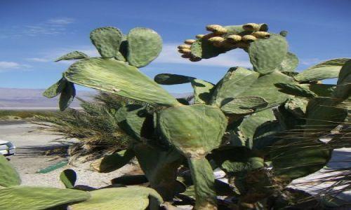Zdjecie USA / brak /  + 47 stopni kaktusom nie przeszkadza / PARK NARODOWY DOLINA ŚMIERCI