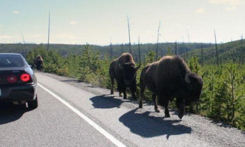 Zdjecie USA / Wyoming / Yellowstone NP / Bizony
