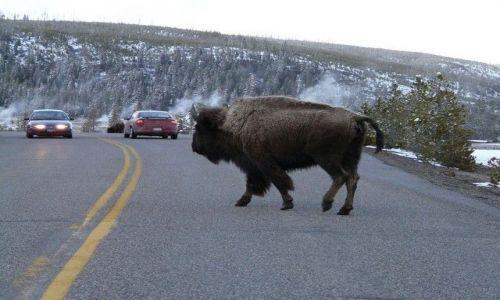Zdjecie USA / Wyoming / Yellowstone / bizony w Yellow