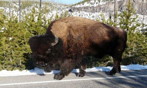 Zdjecie USA / Wyoming / Yellowstone / piesi idą poboczem !!