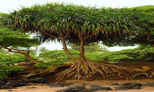 Zdjecie USA / Hawaje/Maui / Koki Beach / Drzewo