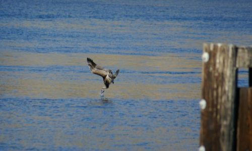 Zdjecie USA / California / Moro Bay / Polowanie Pelikana