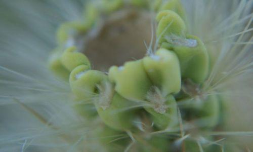 Zdjecie USA / California / Joshua NP / Kaktus Cholla z bardzo bliska