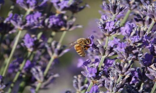Zdjecie USA / brak / Washington (stan) / pracowita pszczolka na lawendowym polu