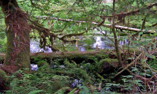 Zdjecie USA / brak / Washington (stan)/ polwysep Olimpic / Las deszczowy strefy umiarkowanej 1