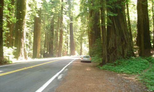 Zdjecie USA / California / słynna Road 1 / Red Woods  -czyli sekwoje