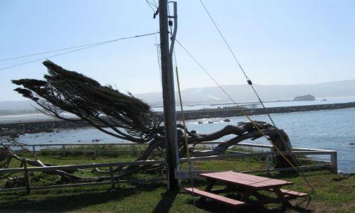 Zdjecie USA / California / Pacyfik - Crescent City / Wygięte drzewo piniowe  od oceanicznego wiatru