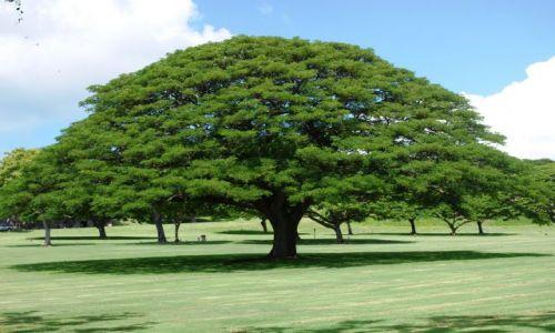 Zdjecie USA / Hawaje / Oahu / drzewo