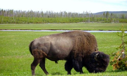 Zdjecie USA / Wyoming / Park Yellowstone / król Yellowstone