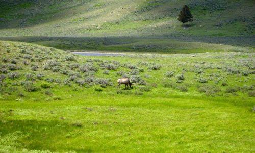 Zdjecie USA / Wyoming / Yellowstone Nat. Park / samotny jeleń, ale nie na rykowisku tylko w Yellowstone