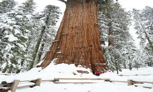 Zdjecie USA / California / Sequoia National Park / Sherman - najwieksze drzewo swiata