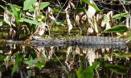 USA / Floryda / Everglades / wolny Ali gator