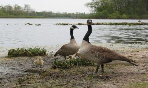 Zdjecie USA / Ohio / Newbury - Punderson State Park / KONKURS - gęsia rodzinka