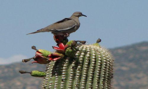 Zdjecie USA / Arizona / Tuscon, Saguaro National Park / KONKURS - Arizońska wiosna