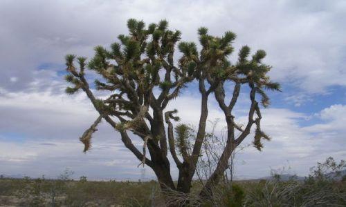 Zdjecie USA / Kalifornia  / Pustynia Mohave / Niebywale ostre i kłujące, ale urokliwe