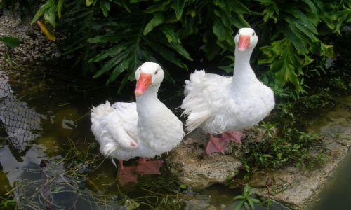 Zdjecie USA / Floryda / Everglades / kaczki dziwaczki