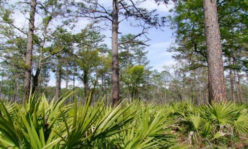 Zdjecie USA / - / Georgia / Okefenokee Swamp  / sosny i palmy