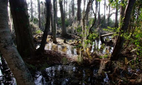 Zdjecie USA / - / Georgia / Okefenokee Swamp  / las z krainy fantasy