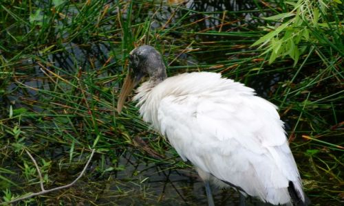 Zdjecie USA / - / Floryda / Everglades NP / wood stork