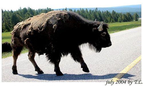 Zdjecie USA / brak / Yellowstone NP / Bizony w Yellowstone NP (2)